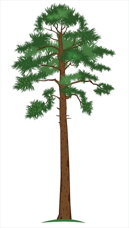 tall tree: Pine-tree Illustration