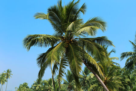 coconut trees against the blue sky Stock Photo