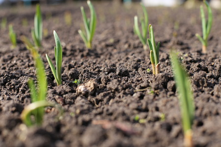 early summer: little onion sprouts on a garden bed Stock Photo