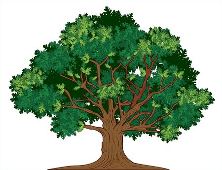 Vector illustration of old green oak tree Çizim