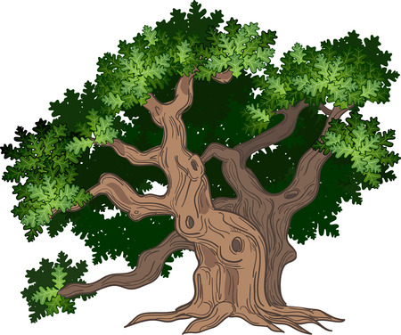 Vector illustration of big and old oak tree