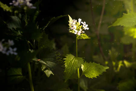 White dead-nettle, Lamium album, weed blooming close-up. Herbal medicine concept .