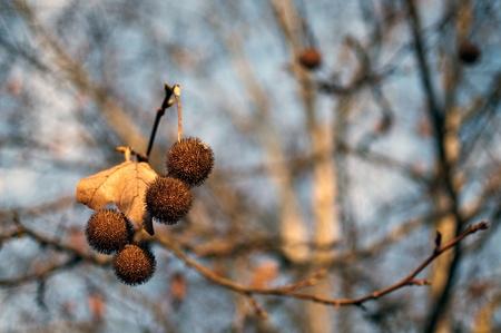 hojas: Platanero