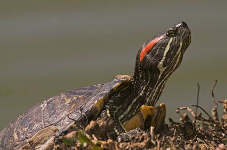 land shell: American turtle resting and sunbathing