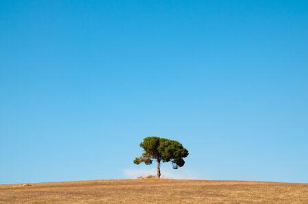 lone pine: Pino solitario en la parte superior de una pendiente Foto de archivo