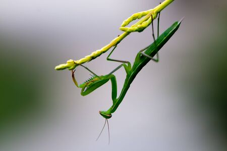 predatory insect: Side view of a praying mantis