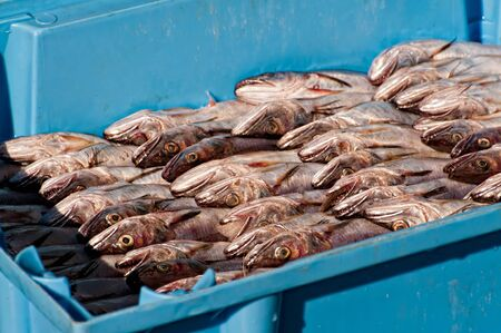 recently: Whiting recently caught downloading on port Stock Photo