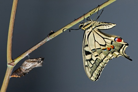papillon butterfly pupa of newborn