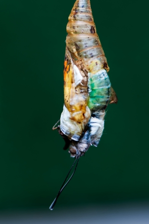 Photographs of the birth of a butterfly chrysalis
