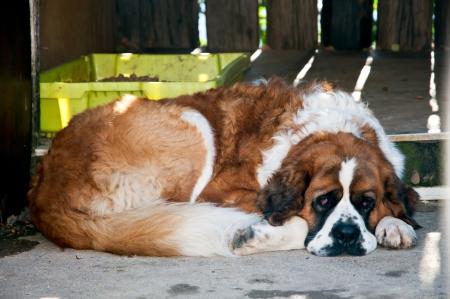 st  bernard: San Bernardo perro en un descanso