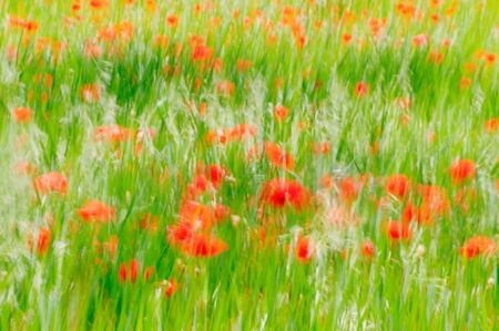 Poppy Field in a windy day photo