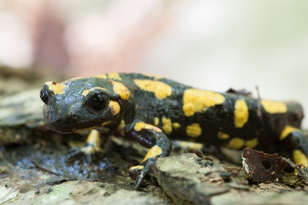 Detail of a salamander in its usual habitat photo