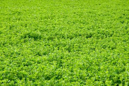 Alfalfa field in detail the growth process
