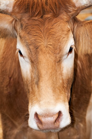 beast ranch: Detail of a portrait of a cow