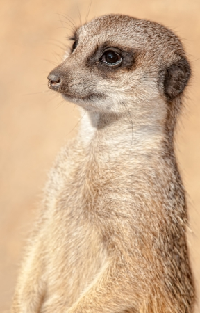 suricata suricatta: Detail of a meerkat in a zoo Stock Photo