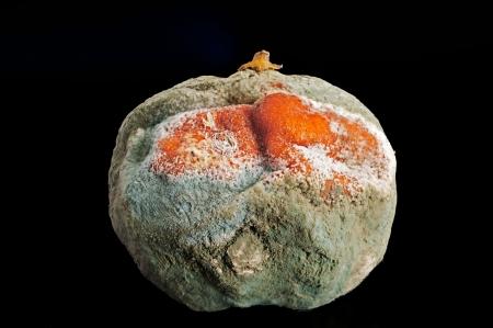mouldy: Macro photograph of a mandarin decaying
