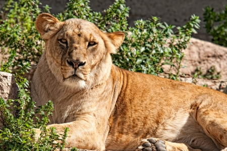 Lioness resting and looking at the camera photo