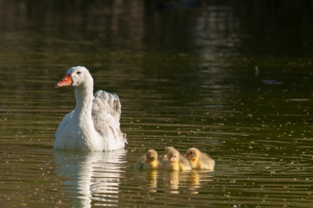 hatched: Mother goose with their young
