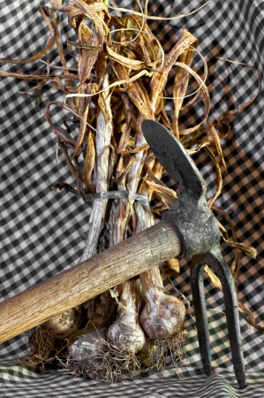 Detail of a newly harvested garlic Stock Photo