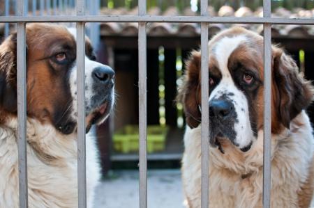 st bernard: St. Bernard Dog Waiting in his cage