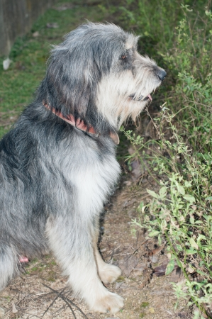 pyrenean: Typical Dog Pyrenean shepherd breed