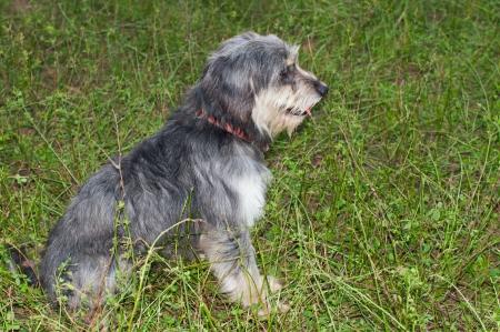 pyrenean: Tipico cane pastore dei Pirenei razza
