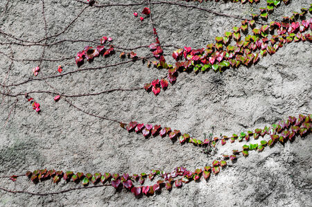 Detail of a climbing plant on a wall photo