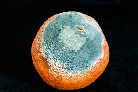 perishable: Detail of a rotten orange