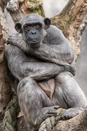 Chimpanzee resting in a tree photo