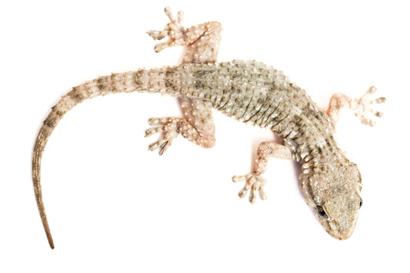 Detail of a common gecko photo
