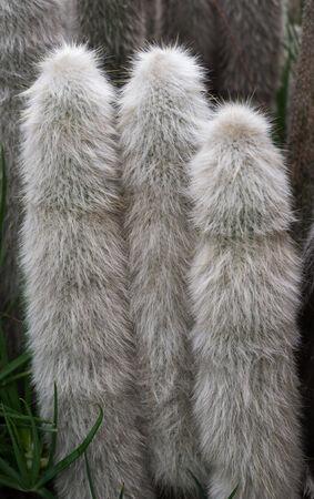 cereus: Detail of a cactus  cereus jamacaru