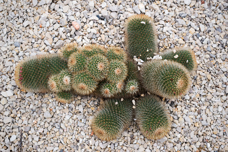 View from above of a Cactaceae