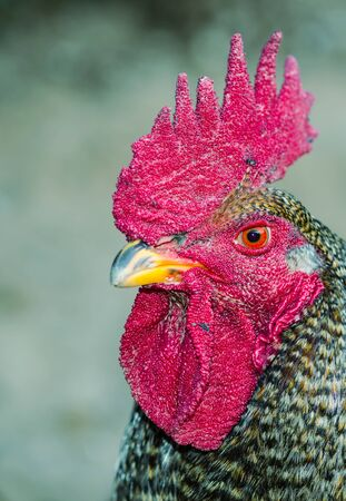 Portrait of a barnyard rooster photo