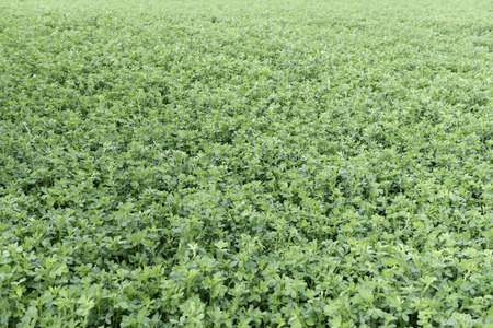medicago: Overview of an alfalfa field (Medicago sativa) Stock Photo
