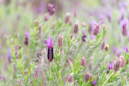 lavandula: Detail of a flower lavandula