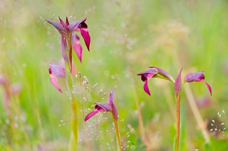 lingua: Detail of orchid Serapias Lingua Stock Photo