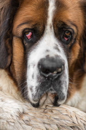 st bernard: Portrait of a typical St. Bernard Stock Photo
