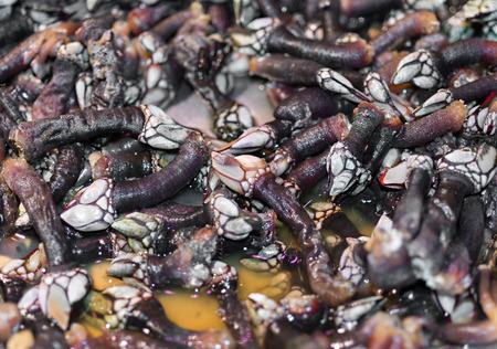 barnacles: Dettagli sulla balani in vendita