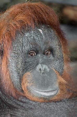 anthropoid: Portrait orangutan of a zoo Barcelona