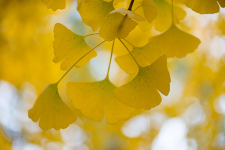 chinese medical: Several details of the Ginkgo biloba tree