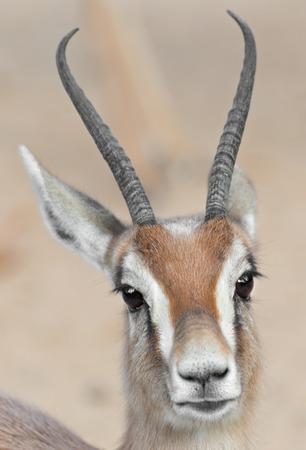 gazelle: Detail of a gazelle dorcas Stock Photo