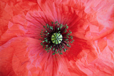 papaver rhoeas: Macro detail of a flower papaver rhoeas