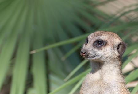 Detail of a meerkat Suricata while watching
