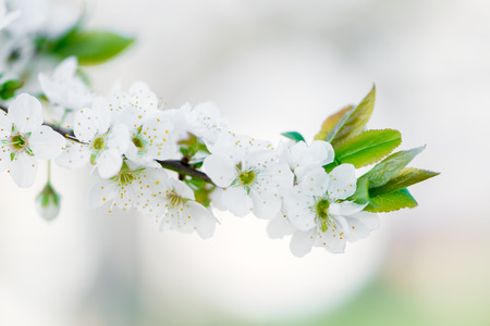 Detail of the flowers of a Prunus Domestic