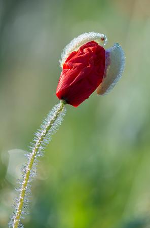 Detail of a Papaver rhoeas flower