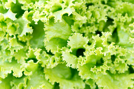 Macro close-up detail of a roman romaine lettuce