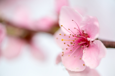 Detail of a nectarine flower in spring
