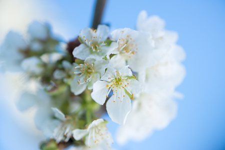 First flowers of a cherry tree in spring Foto de archivo