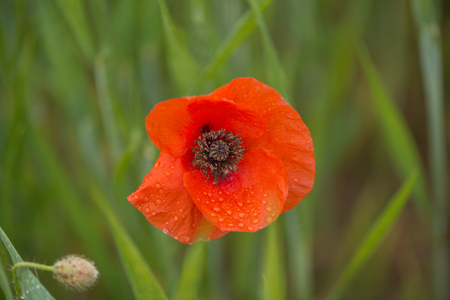 Spring, detail of some poppies in a field
