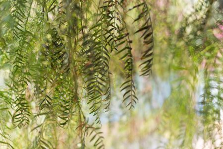 Different creative views of a weeping willow tree - Salix babylonica